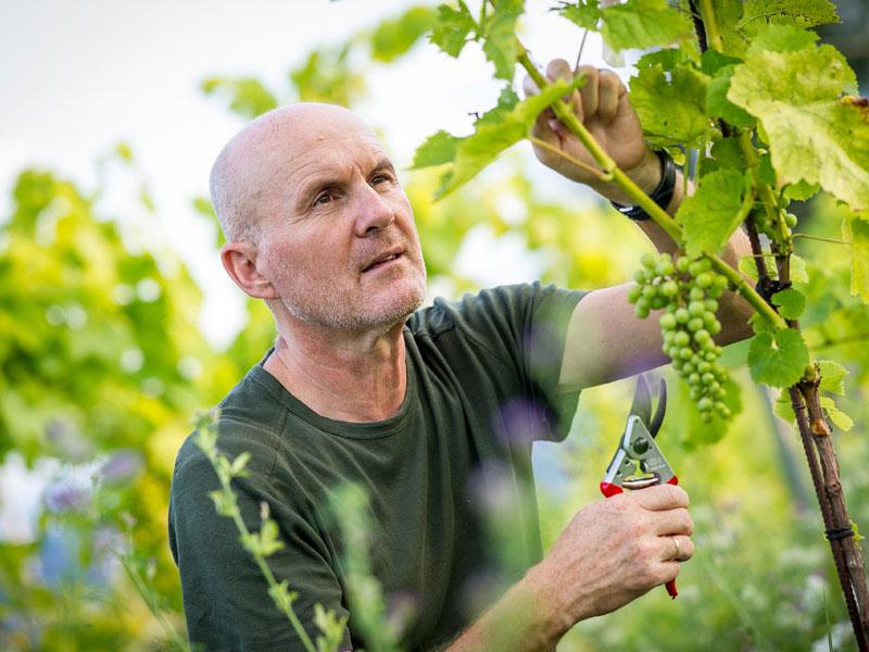 Christian Waltl beim Begutachten des Weins im Weingarten